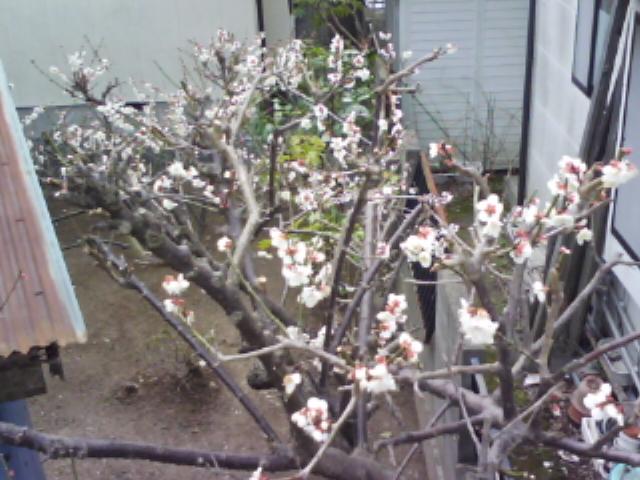 梅は咲いた、雪が降る